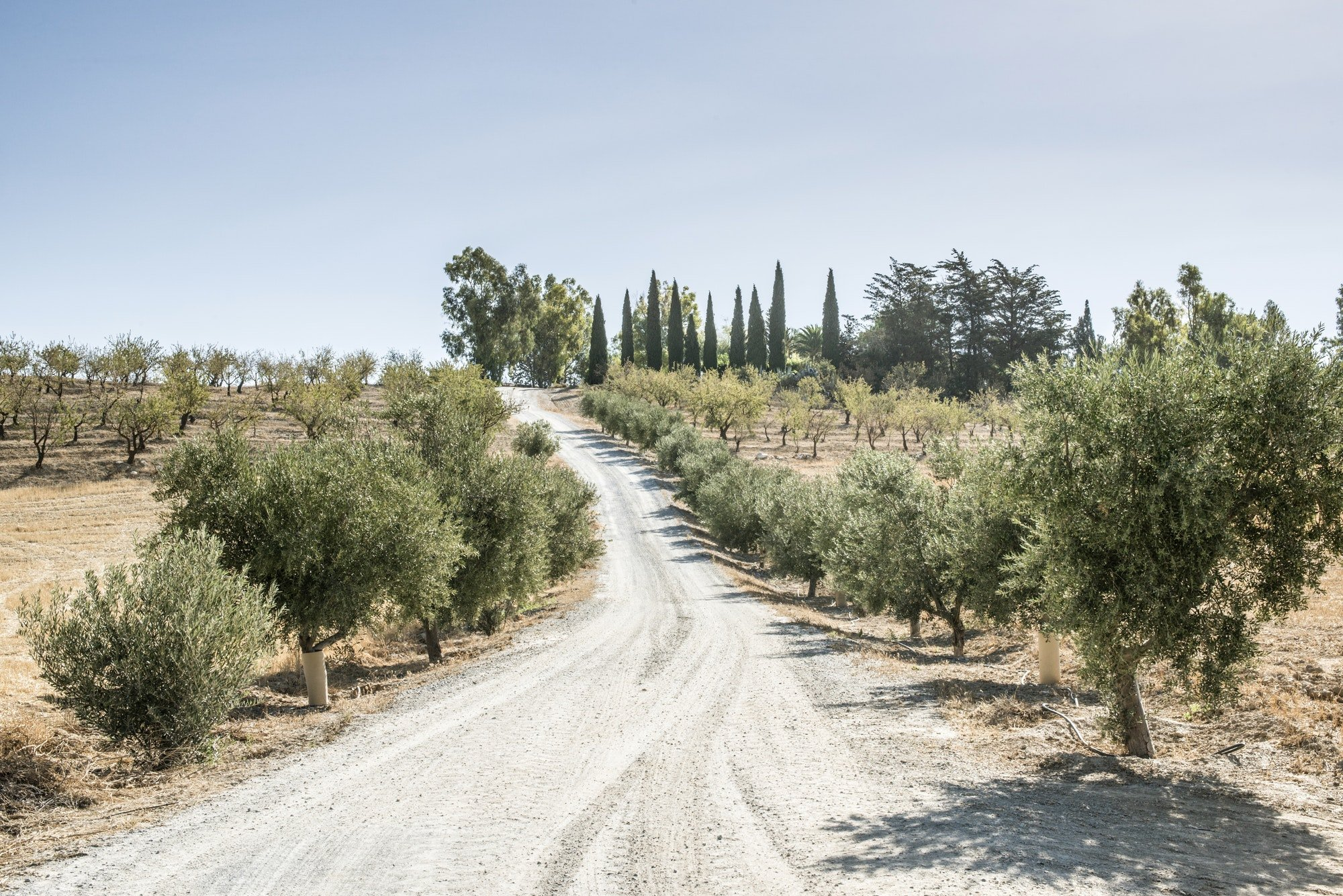 Olive trees and dirt road